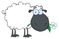 Grazing sheep2